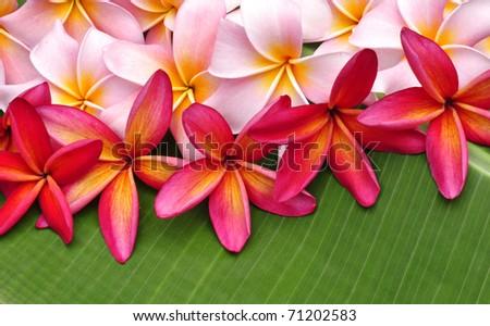 Colorful Plumeria flowers on banana leaf - stock photo