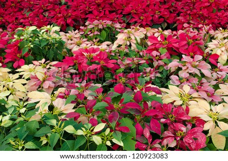 Colorful Poinsettia flower (christmas star) - stock photo