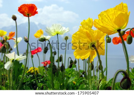 Colorful poppies the Lake Geneva - stock photo