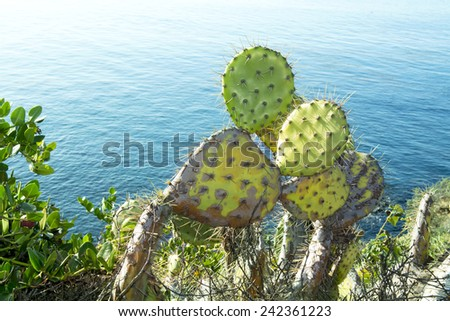 Colorful prickly pear cactus with sharp needles grows along the coastline of Laguna Beach, California.  - stock photo