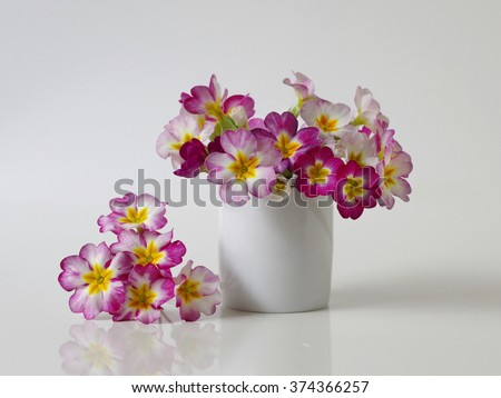 Colorful primula, primrose, polyanthus flower in a flowerpot. Bouquet of spring primula flowers in a vase on a white background. Romantic floral still life. - stock photo