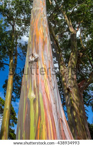 Colorful rainbow trees in Kauai, Hawaii - stock photo