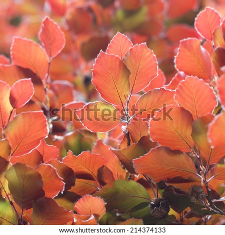 Colorful red beech tree leaves background - stock photo