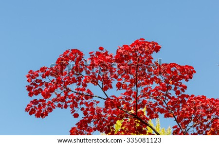 colorful red maple leaves and branch nature blue sky - stock photo
