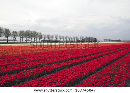 Colorful red , orange and white tulips in a row. - stock photo