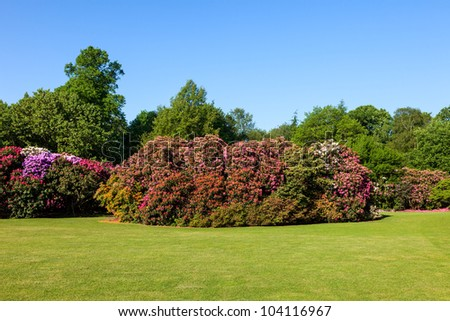 Colorful Rhododendron Bushes in Beautiful Lush Sunny Garden under Blue Sky in Daytime - stock photo