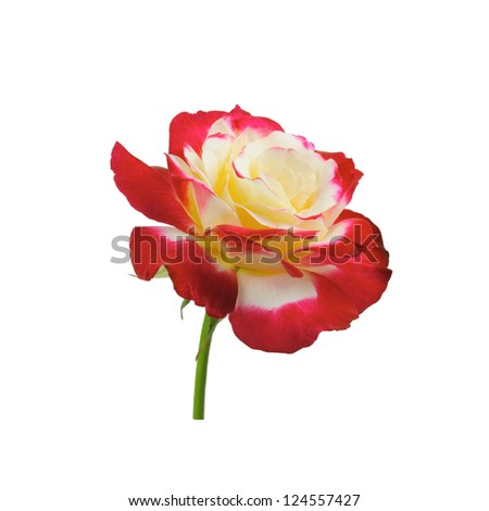 Colorful rose isolated on white background - stock photo