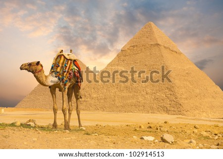 Colorful saddled tourist camel tied, waiting for its owner in front of the Great Pyramids with a beautiful purple sunset sky of Giza in Cairo, Egypt. Horizontal copy space - stock photo