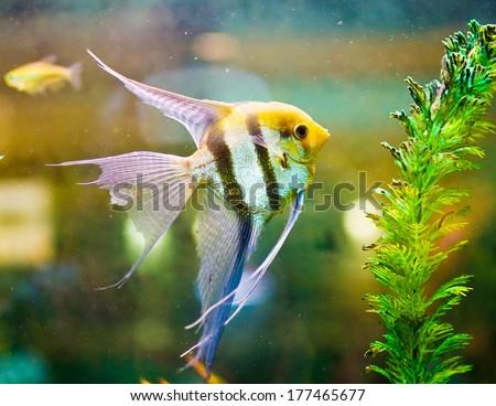 Colorful scalari fish in a tank - stock photo