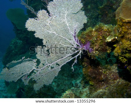 Colorful Sea Fan on a Cayman Island Reef - stock photo