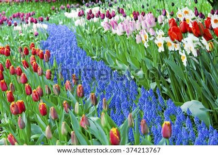 Colorful sea of beautiful tulips in full bloom - stock photo