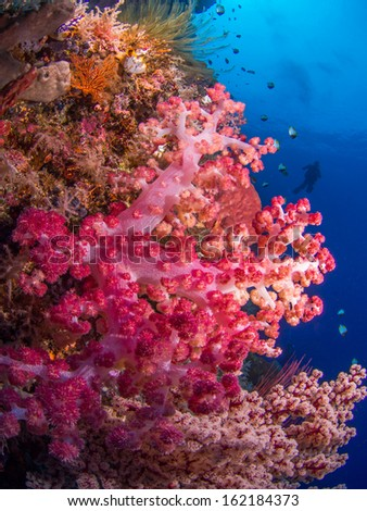 Colorful soft coral at a reef at Bunaken, Indonesia - stock photo