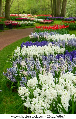 Colorful spring blossom of white nad blue hyacinth in dutch garden 'Keukenhof', Holland - stock photo