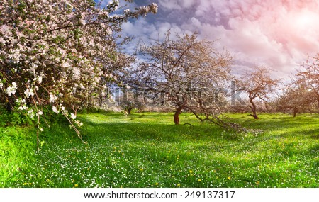 Colorful spring landscape in the apples garden - stock photo