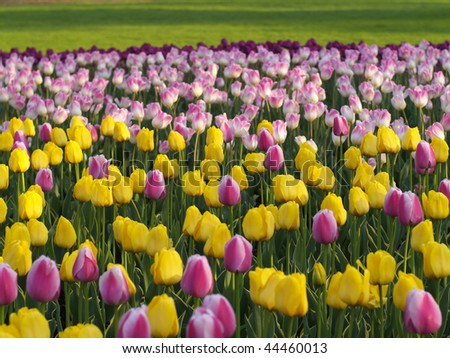 Colorful spring tulips - stock photo