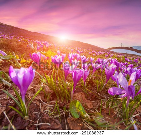 Colorful sunrise in the spring mountains with a field of blossom crocuses. - stock photo