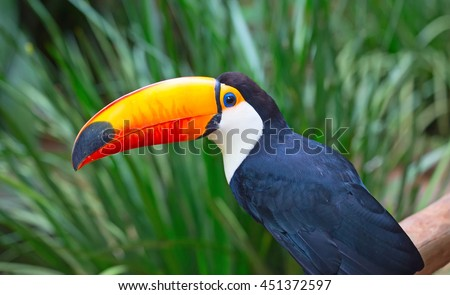Colorful toucan in the wild - stock photo