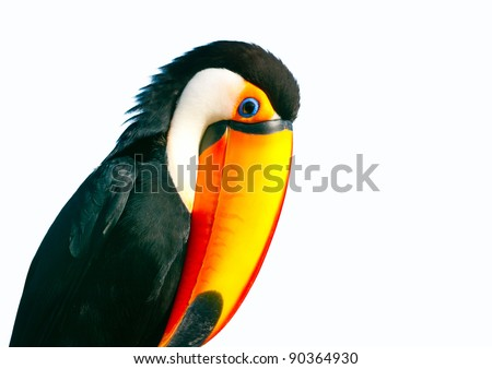 Colorful Toucan parrot with big nose - stock photo