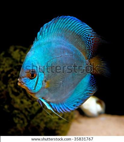 Symphysodon Discus Stock Photos Images Pictures