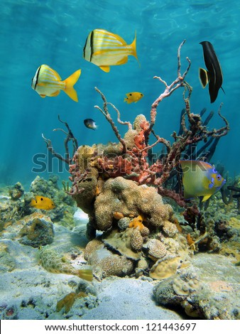 Colorful tropical fish with lumpy overgrowing sponge and white encrusting zoanthid in a coral reef of the Caribbean sea, Mexico - stock photo
