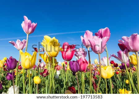 colorful tulip field and blue sky - stock photo