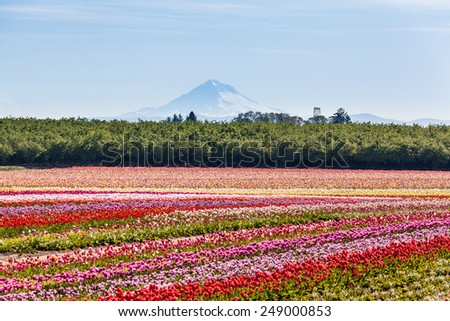 Colorful tulip field and Mt. Hood - stock photo