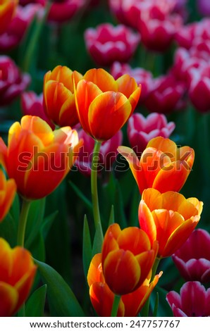 Colorful Tulip flowers  in the garden. - stock photo