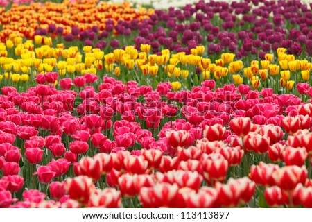 Colorful tulips in the garden. - stock photo