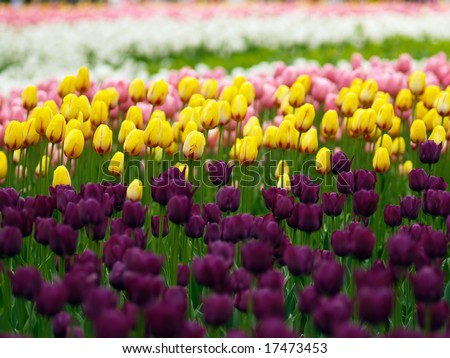 Colorful tulips on Canadian Tulip Festival in Ottawa - stock photo