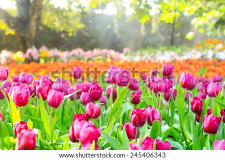 colorful tulips, tulips in spring - stock photo