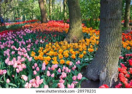 Colorful tulips under the trees on an april day in spring - stock photo