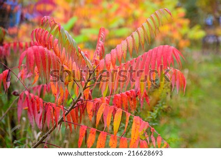 Colorful vibrant leaves on a sumac plant during the autumn season.    - stock photo