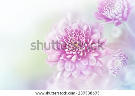 Colorful violetl chrysanthemum - stock photo