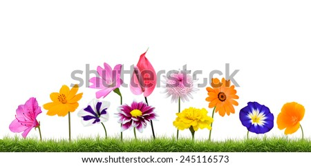 Colorful Wildflower Flowers Growing in the Grass Isolated on White Isolated on White Background. Vibrant Red, Blue, Pink, Purple, Yellow White, and Orange Colors. Dahlia, Marigold and wildflowers - stock photo