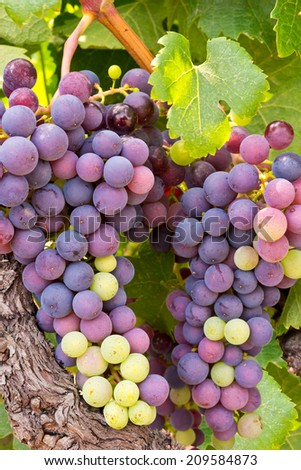 Colorful Wine Grapes Clustered - stock photo