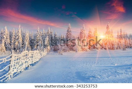 Colorful winter panorama in the Carpathian mountains. Fir trees covered fresh snow at frosty morning glowing first sunlight.  - stock photo