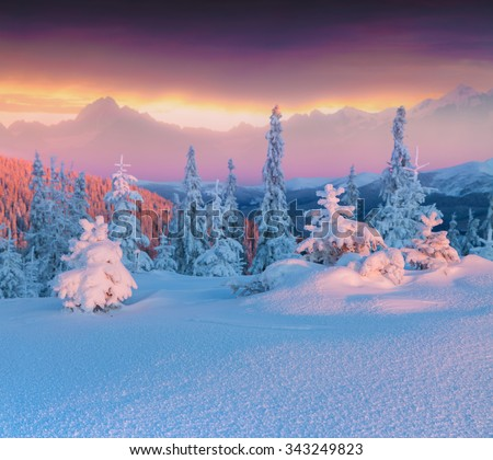 Colorful winter scene in the high mountains. Small fir trees covered fresh snow at frosty morning glowing first sunlight. - stock photo