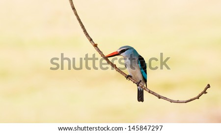 Colorful woodland kingfisher bird resting on a branch - stock photo