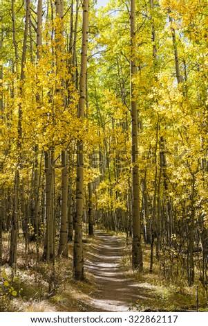 Colorfull Aspens trees line the Colorado Trail in full Autumn color as it traverses through Kenosha Pass. - stock photo