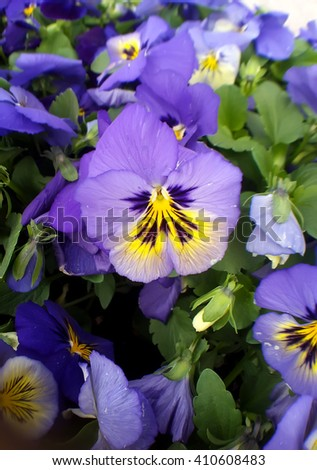 Colorfull Pansy flowers. Viola tricolor in the spring time - stock photo