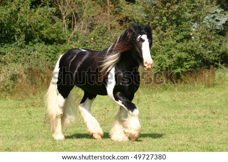 coloured Irish Cob stallion trotting in the pasture - stock photo