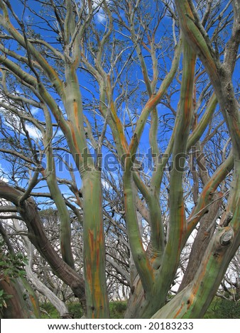 Colourful bark of snow gum tree - stock photo