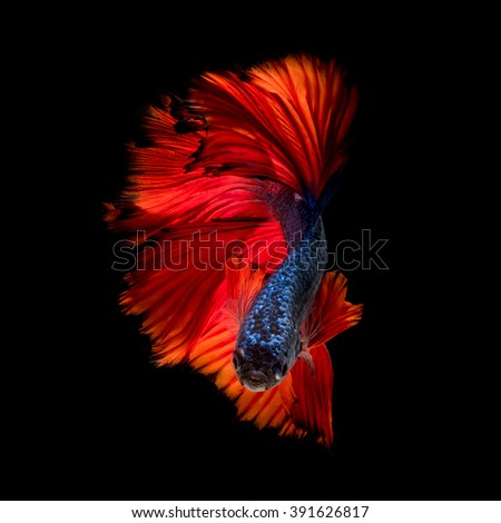 Colourful Betta fish,Siamese fighting fish in movement isolated on black background - stock photo