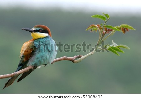 Colourful european bee-eater perched on a twig, close-up - stock photo