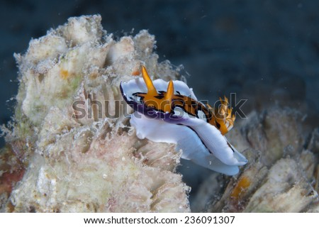 Colourful nudibranch or sea slug (Chromodoris gleniei) moving across hard coral on a coral reef in the Indian Ocean, Zanzibar - stock photo