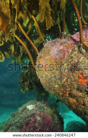 Colourful rock under kelp forest canopy - stock photo