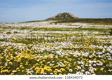 Colourful wild flowers near Cape Town. These pop up every spring all along the West Coast of South Africa. - stock photo