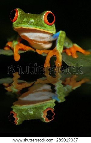 Colourful wild Red-eyed Green Tree Frog water reflection rainforest of Costa Rica. - stock photo