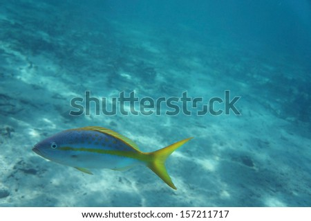 Colourful Yellowtail Snapper                          - stock photo