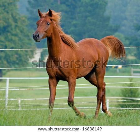 Colt trotting along fence line - stock photo
